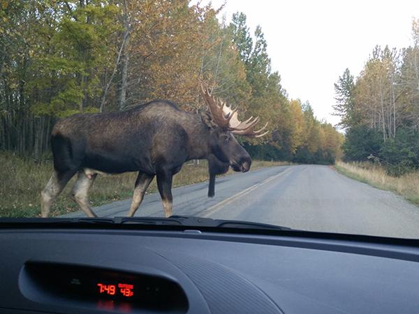 A moose crosses the street in front of Matthew's vehicle in Alaska.